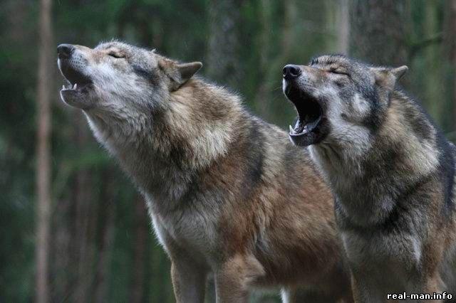 волки загрызли