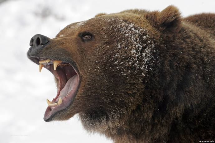бешеный медведь на охоте